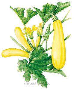 Squash/Zucchini